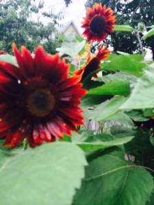 Rustic Burgundy Sunflowers